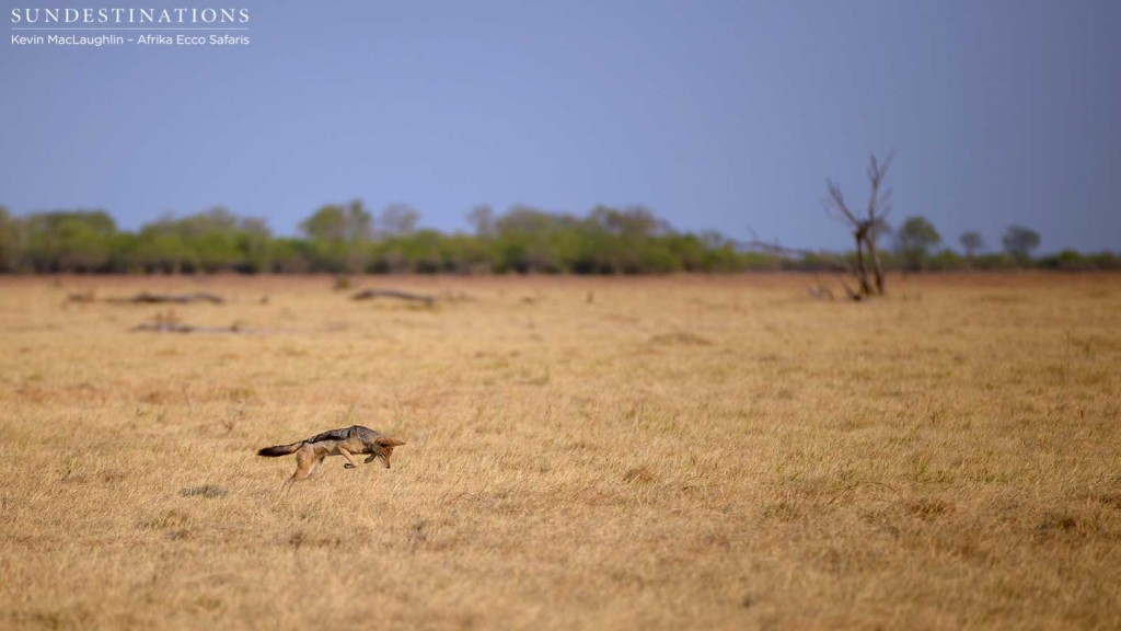 Pouncing black-backed jackal on Savute plains