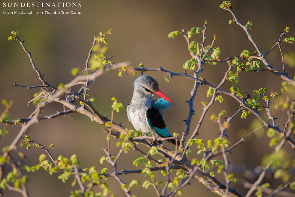 Woodland kingfisher mid-preen