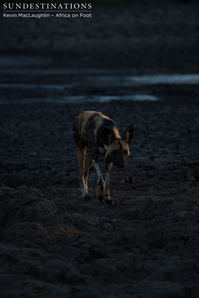 Wild dog in first light