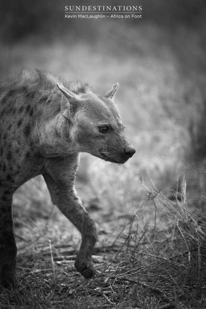 Hyena steps gingerly around a lion kill site