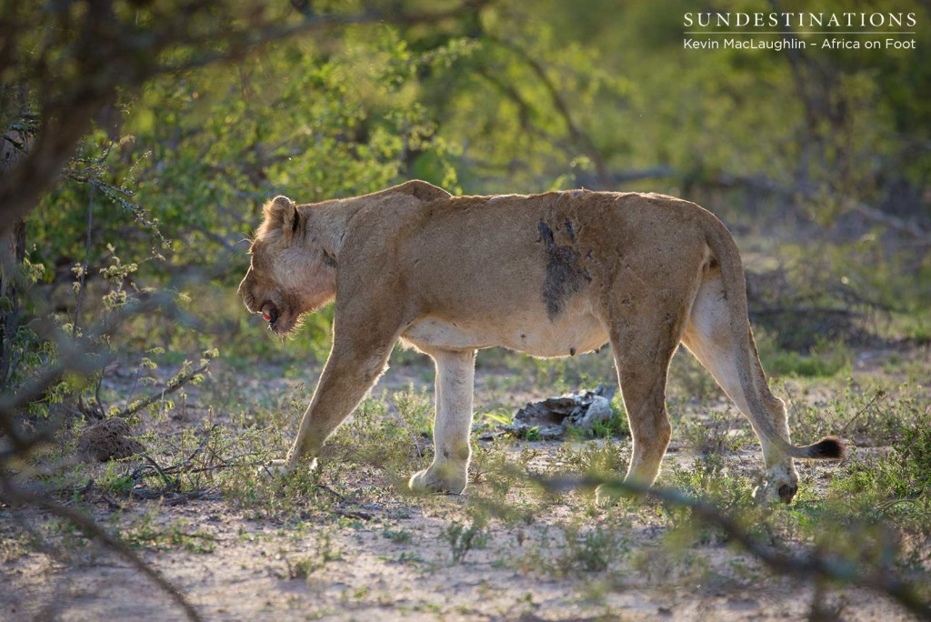 Injured lioness looks for shade