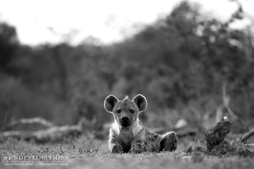 Hyena at eye level