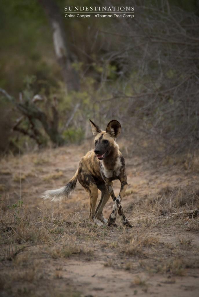 Dancing wild dog