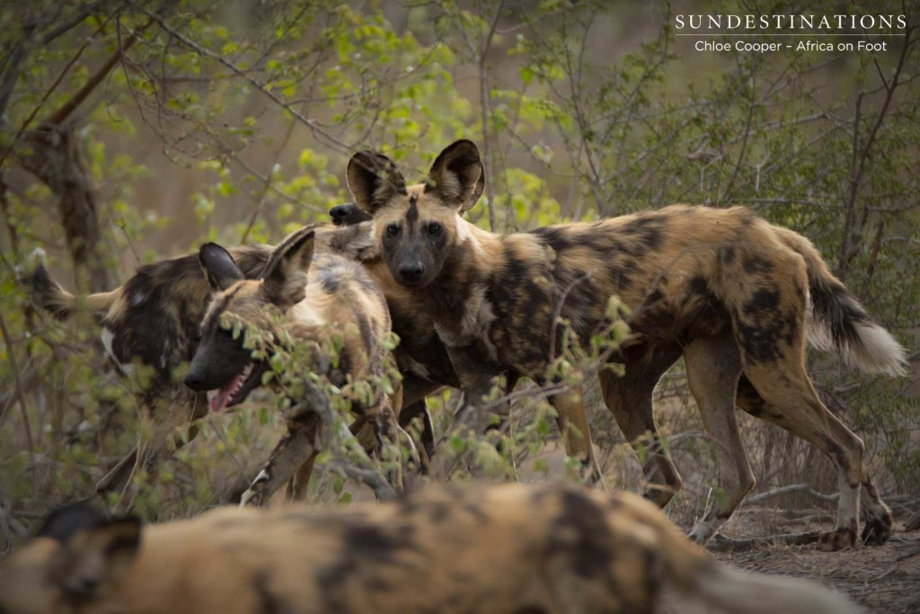 Pack of wild dogs on the move