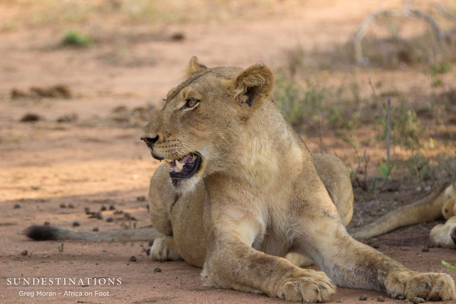 New Lions Seen on Game Drive in Klaserie