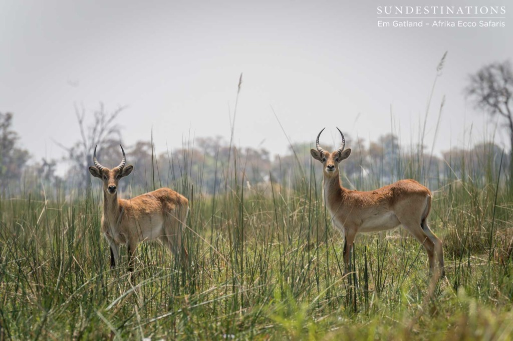 Red lechwe in the reeds