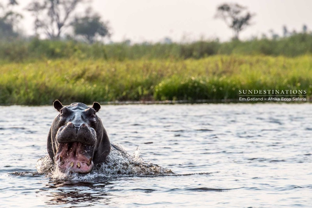 Territorial hippo charges out of the water