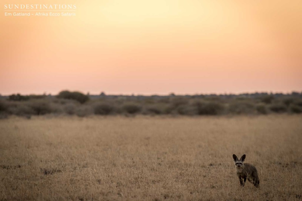 Bat-eared fox and the Kalahari sunset