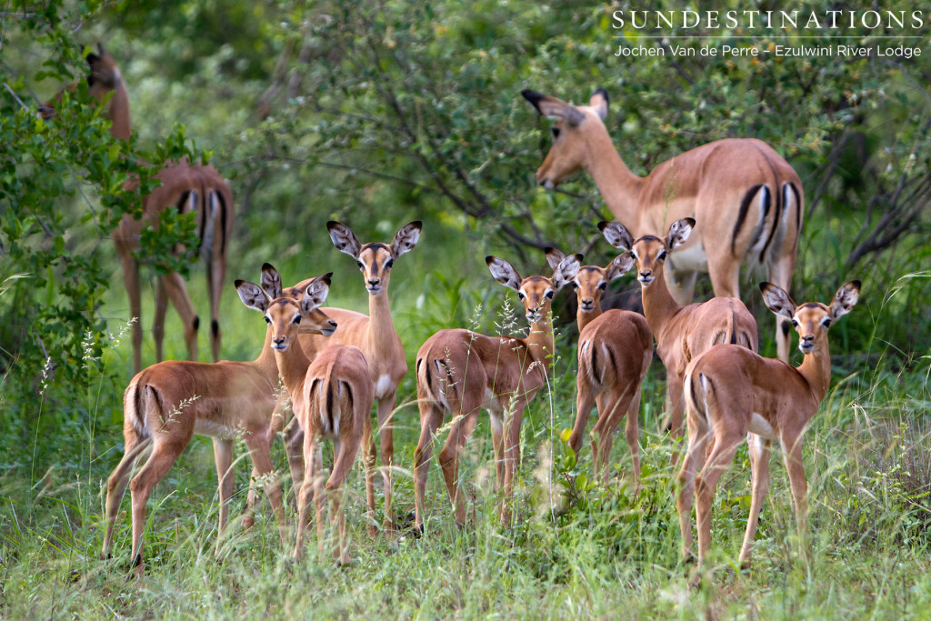 Nursery school for impala