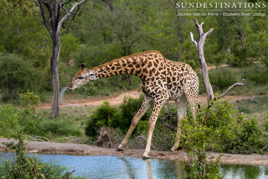 A vulnerable moment for a giraffe
