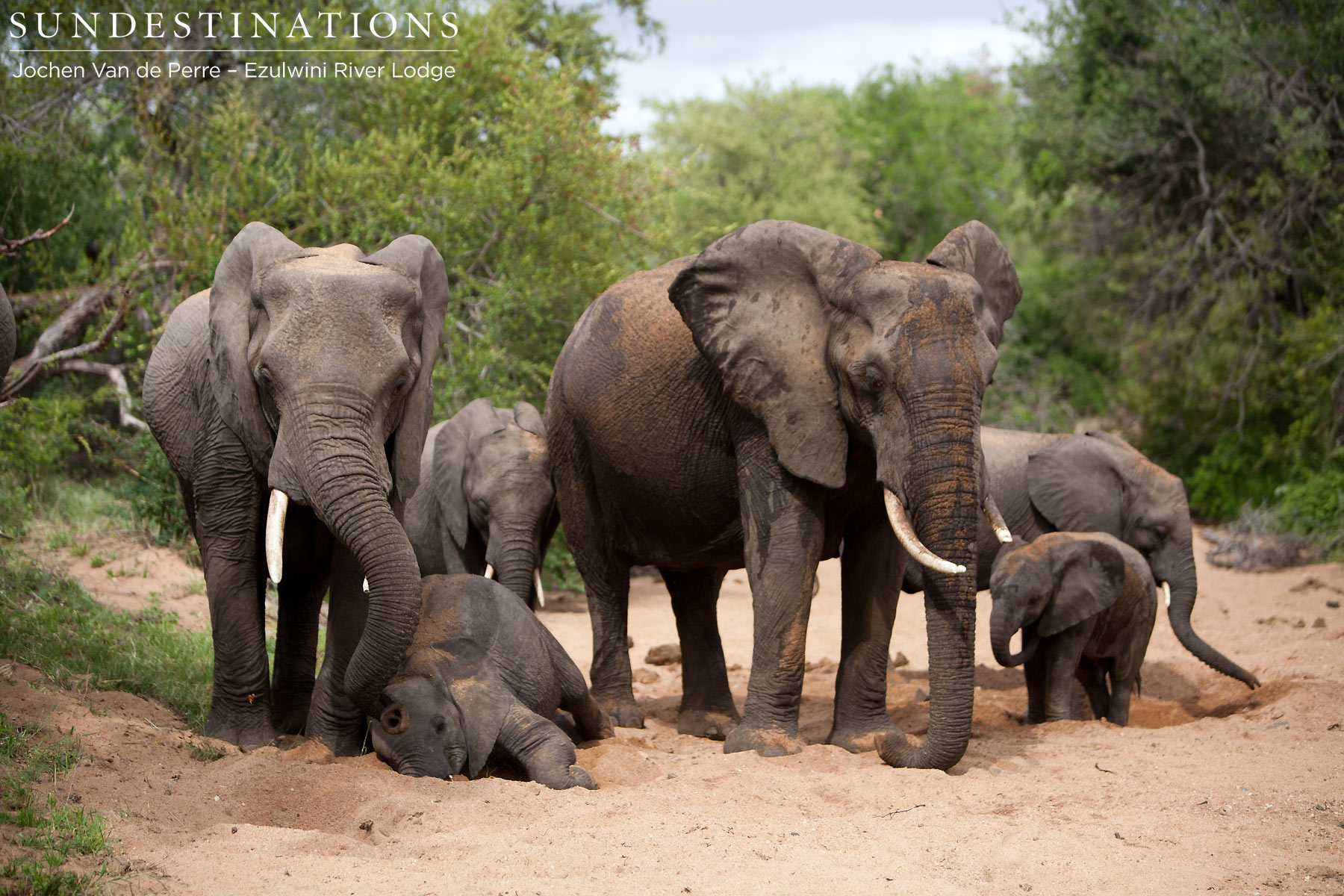 Elephants digging for water at Ezulwini