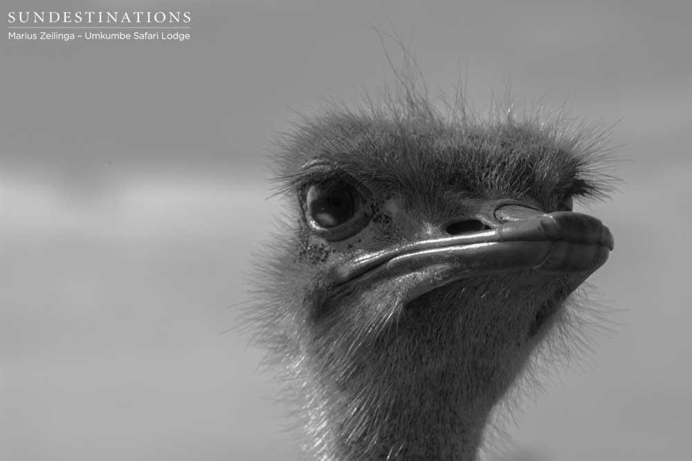 Up close ostrich