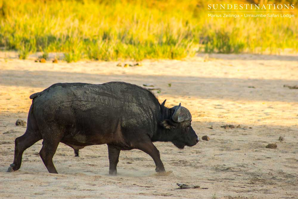 Buffalo bull walks the dry riverbed