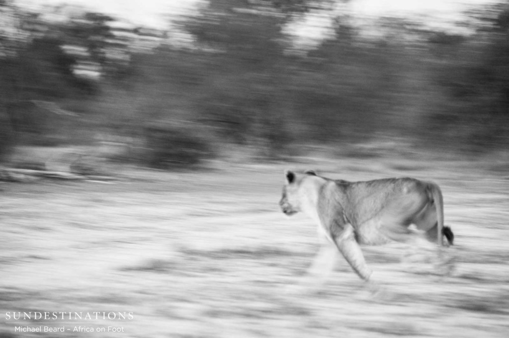 Lion charging in black and white