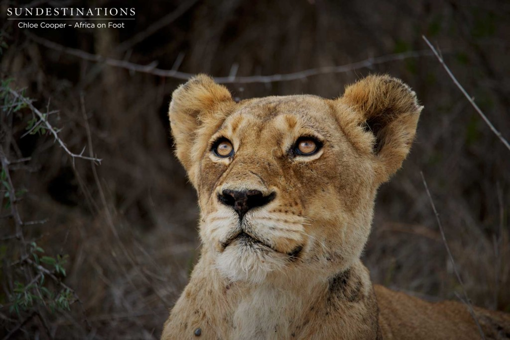 Breakaway lioness looking up