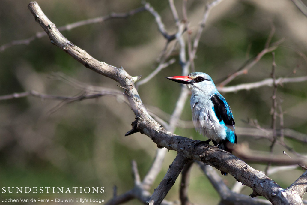 Woodlands kingfisher rests between songs