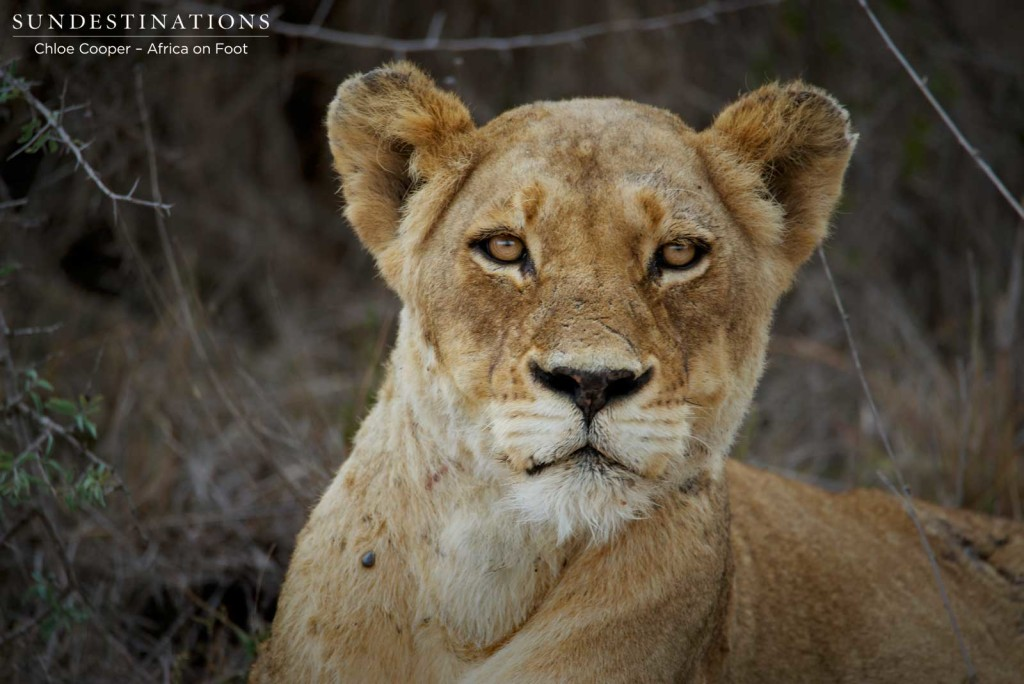 Ross Breakaway lioness gazing at the camera