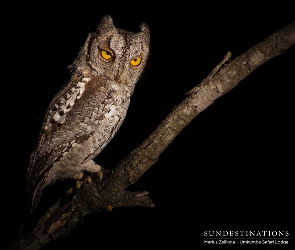 An African scops owl offers a disapproving glare