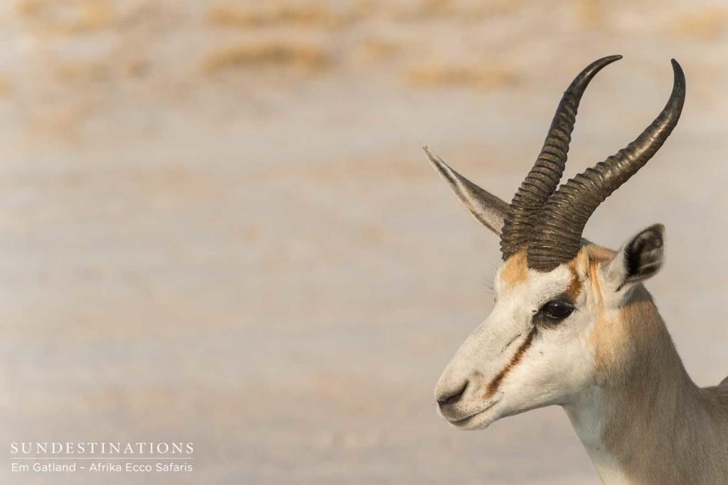 Springbok headshot