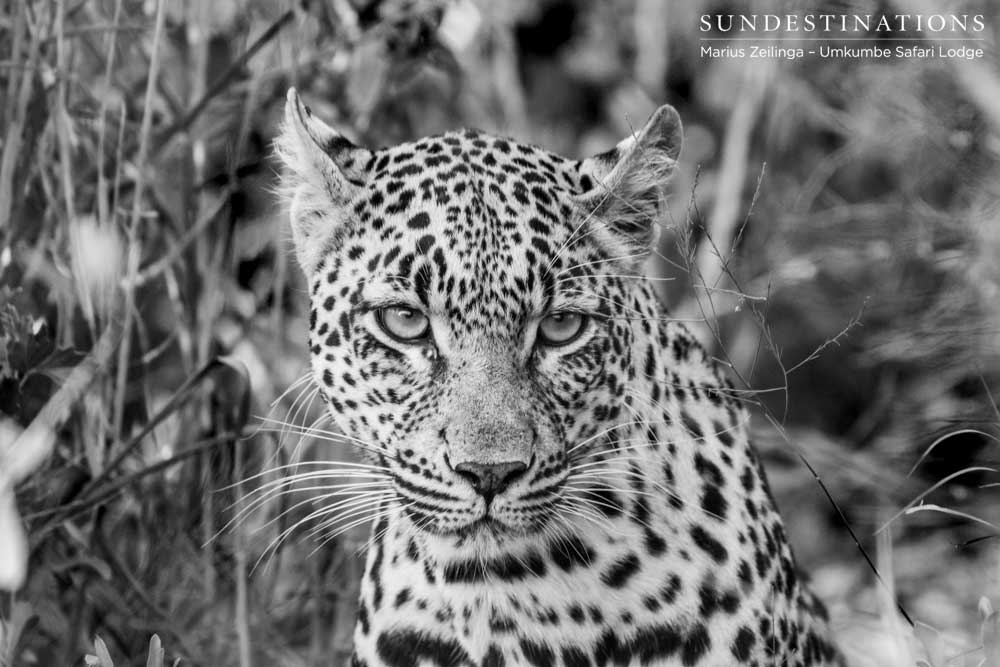 Tatowa female leopard in black and white