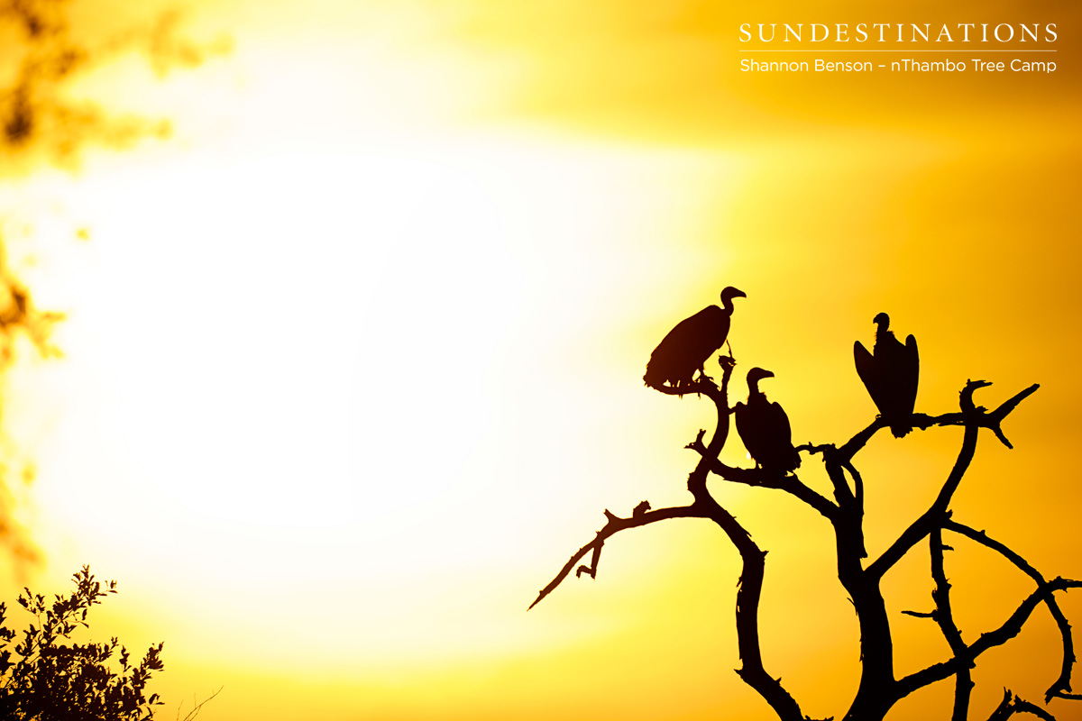 Lappet-faced vultures in the sunset.