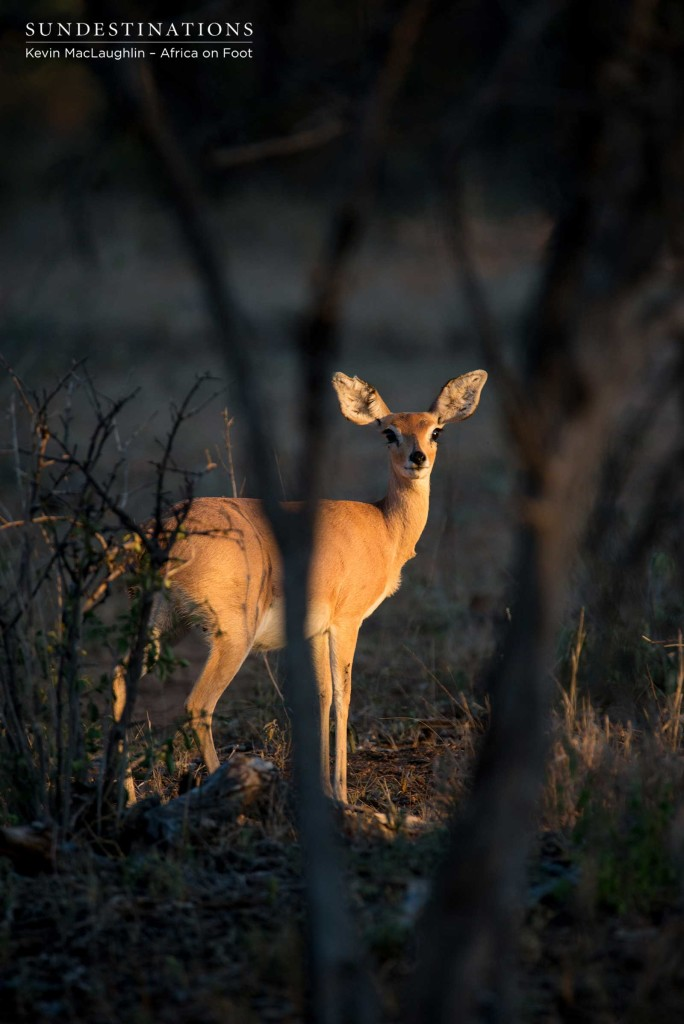 Steenbok in the early morning