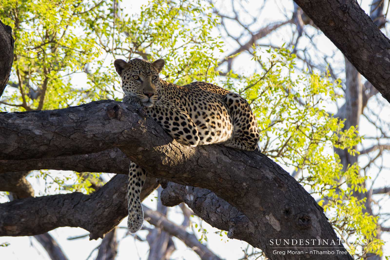 A closer look at leopards of the Klaserie