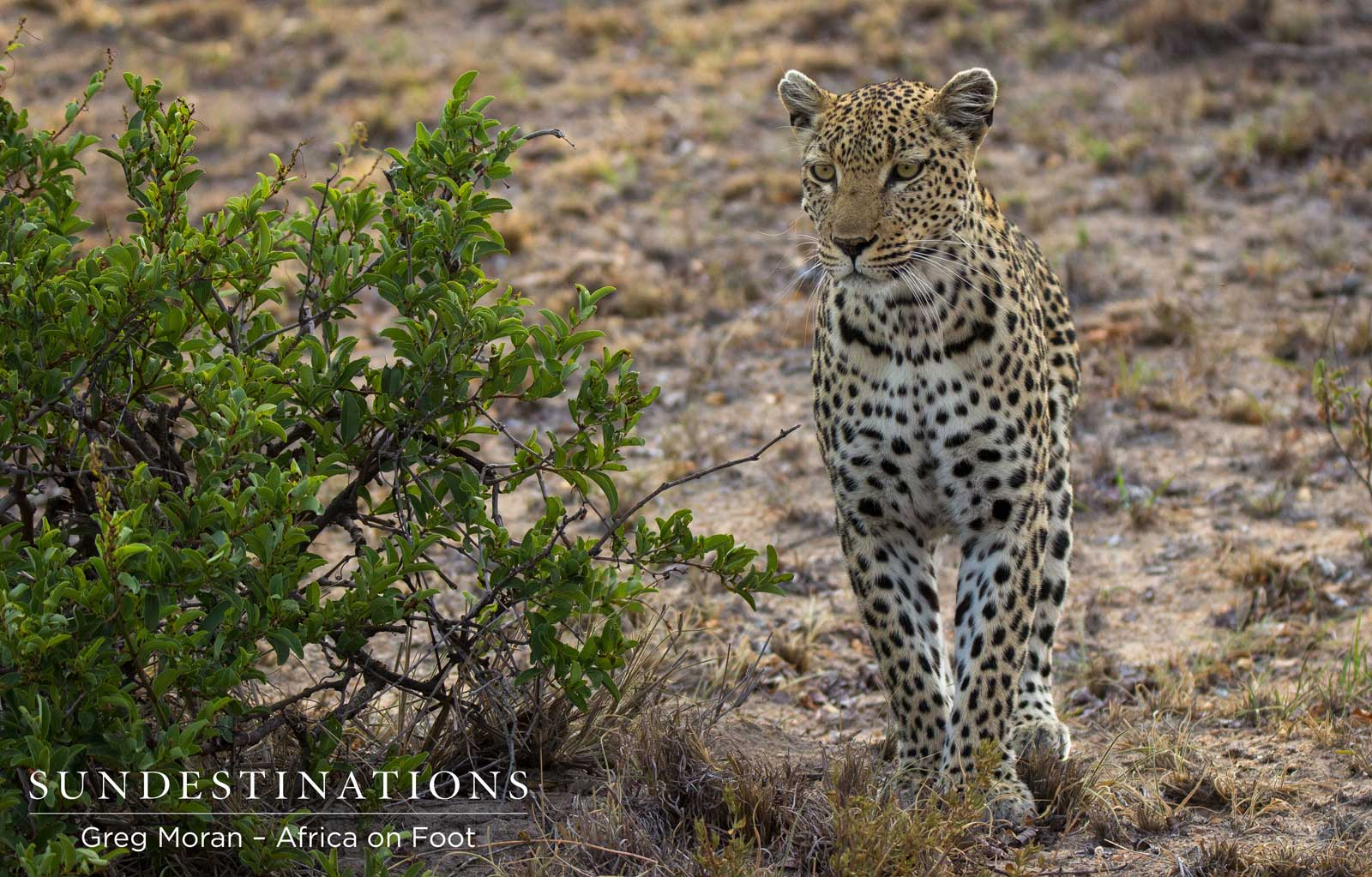 Lady Leopard, Cleo, Eyes out Impala