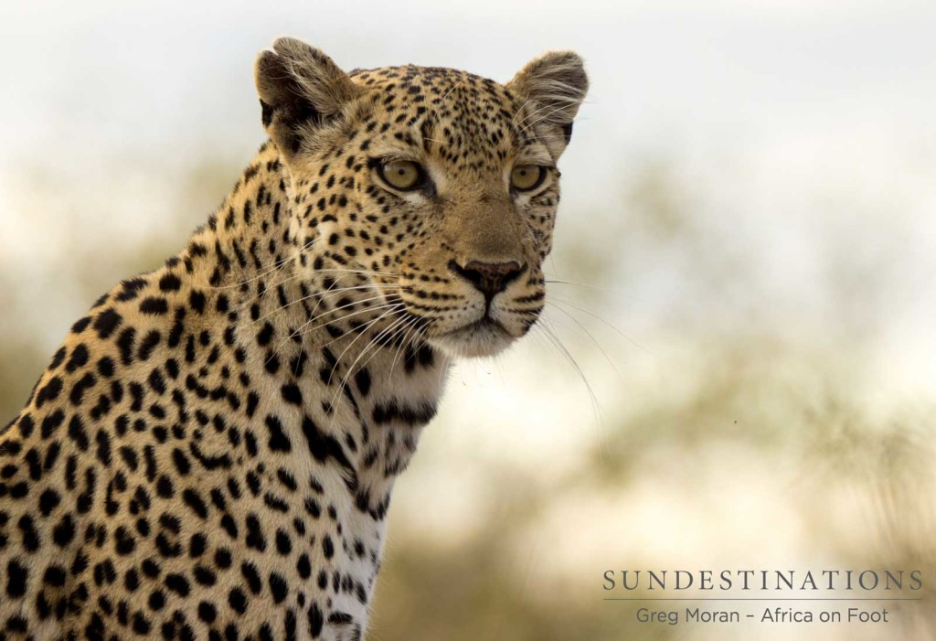 Cleo on the look out for impala