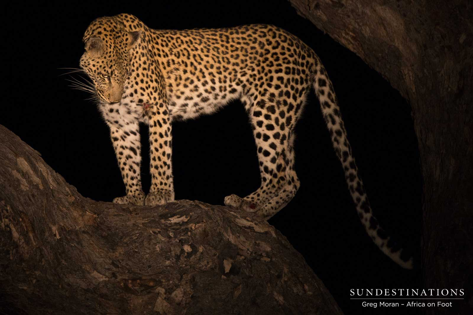 Leopard Kill at Africa on Foot Camp