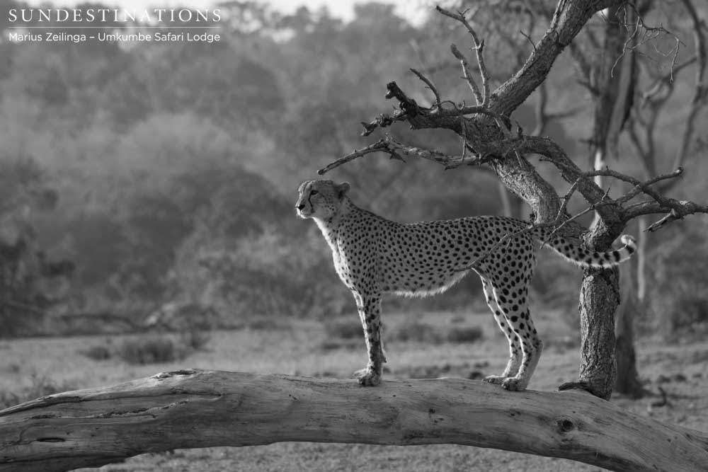 Male cheetah in black and white
