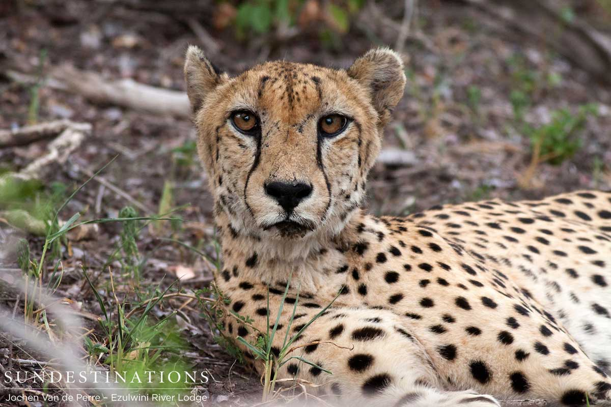 A Cheetah in Front of Ezulwini Billy's Lodge