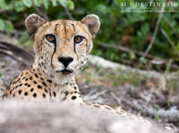 It's a rare privilege to spot a lone and elusive cheetah while out on game drive. Cheetahs are delicate, slender cats that differ somewhat from other brutish feline species. They're the sprinters of the wildlife kingdom and are often mistaken for leopards due to their similar rosette patterned coat. These solitary cats can reach speeds […]