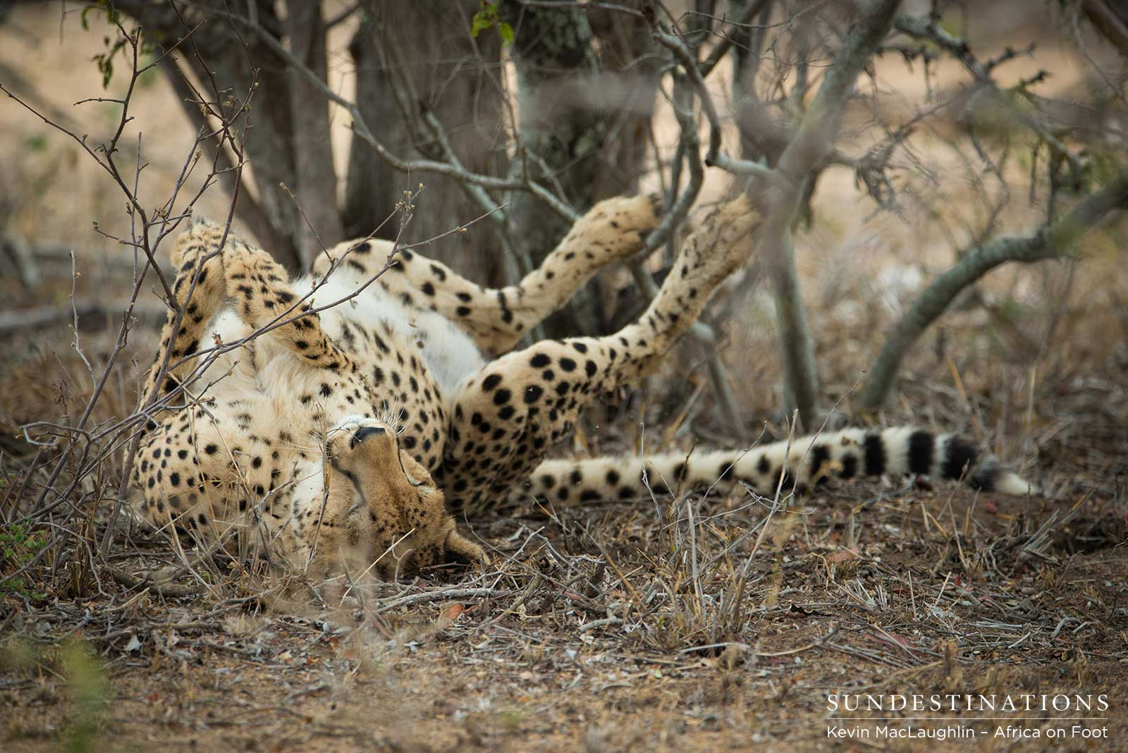 Solo Female Cheetah Spotted in Klaserie