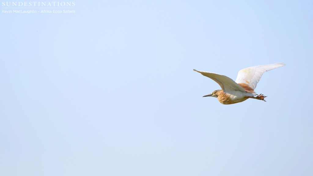 A squacco heron takes flight in the Delta skies