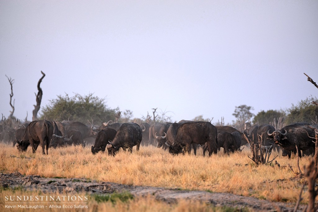 A herd of buffalo graze in the Savute Marsh
