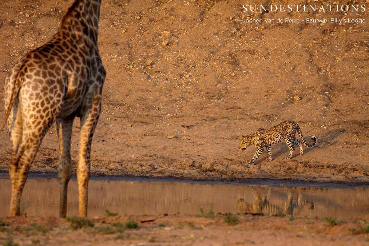Three's a Crowd : Ezulwini Leopard Extravaganza