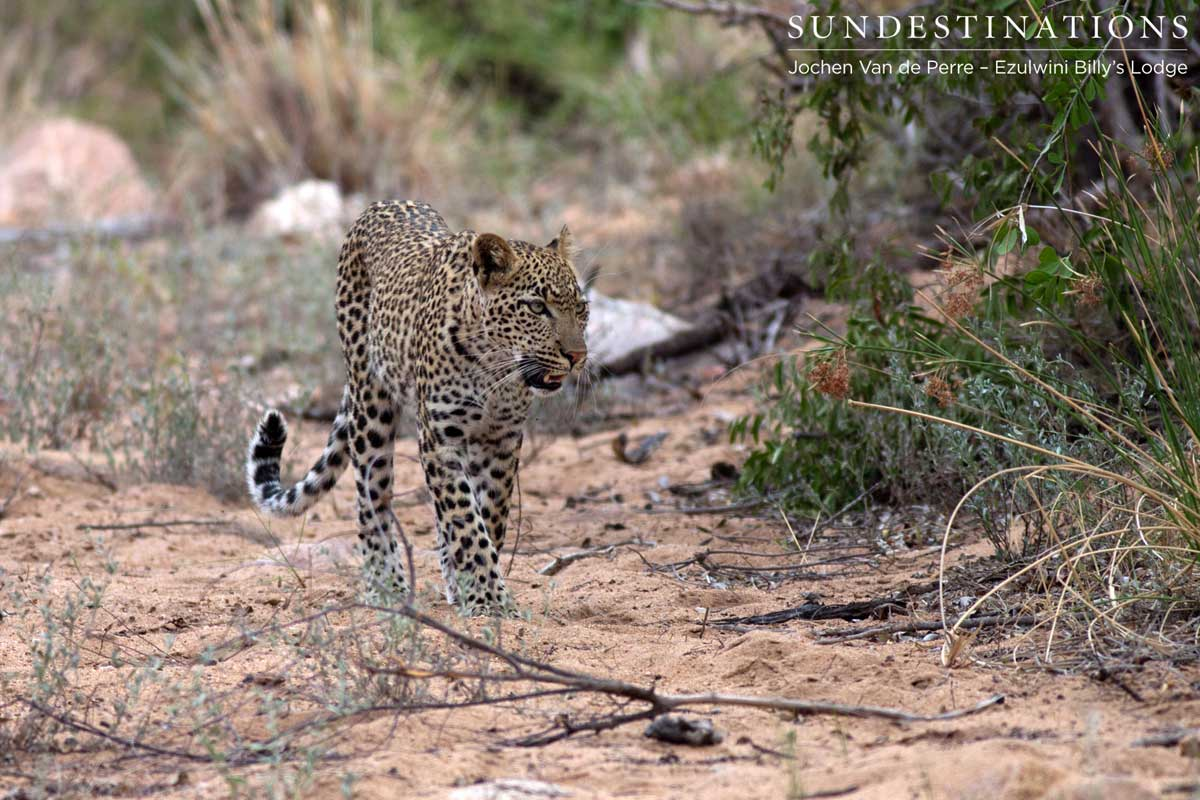 How the Big Cats of the Balule Take Down Prey