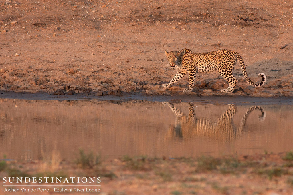 A handsome leopard and his reflection