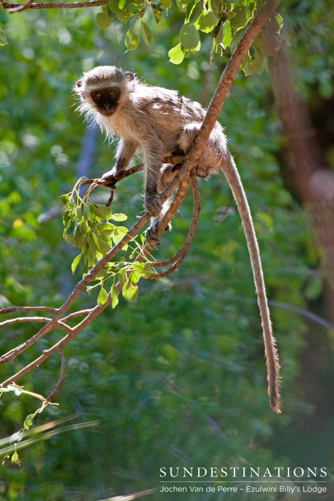 A young vervet monkey plays in the treetops above a bird bath that was being used as a swimming pool at Ezulwini