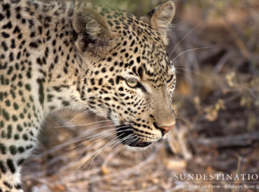 Game viewing in Africa is an unpredictable affair. In the space of an hour you might get to witness a predator kill and see the big five. The next day you might only see a herd of anxious impala. This is why a safari is a complete adventure. Your game ranger and tracker study the […]