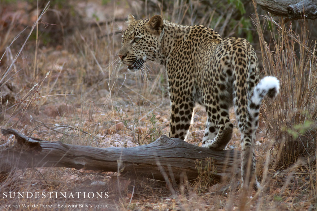 A young leopard manoeuvres elegantly over a fallen branch