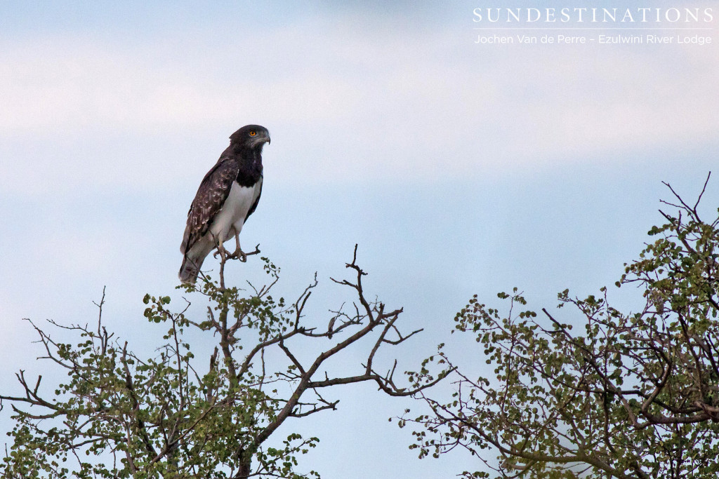 A black-chested snake eagle on the look out