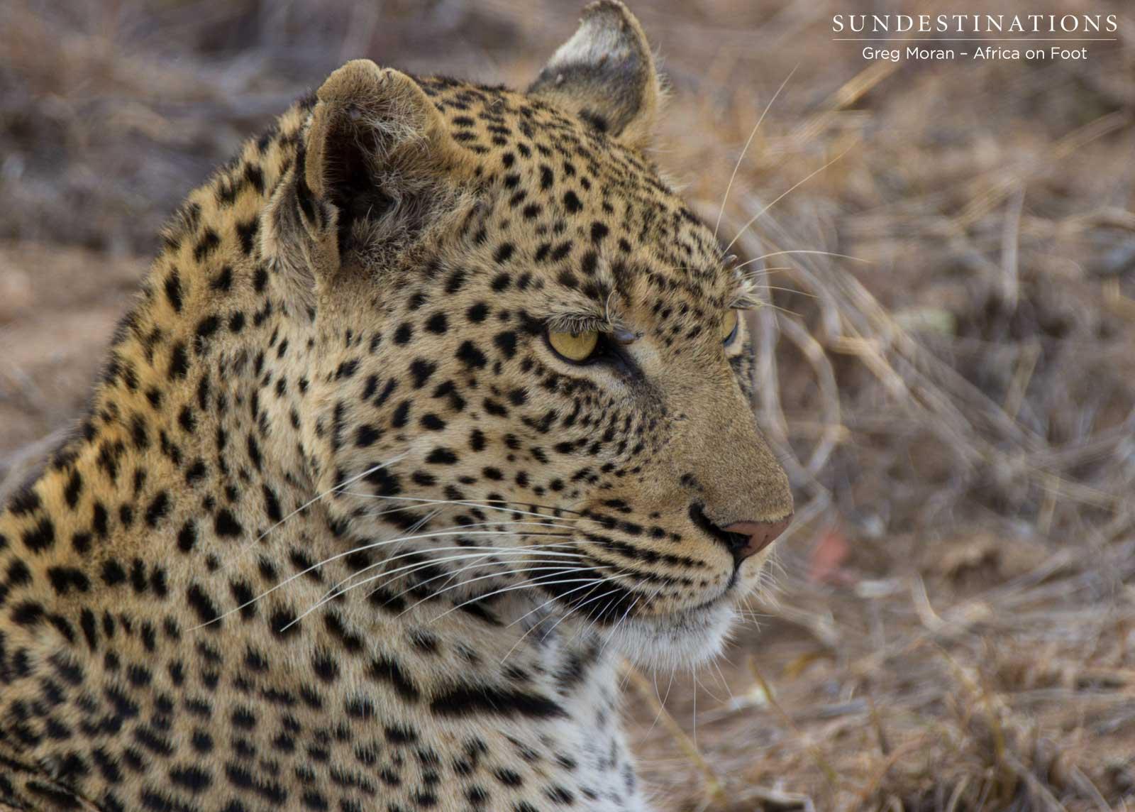 Leopards to Watch: Marula Mafasi and Ross Dam Female