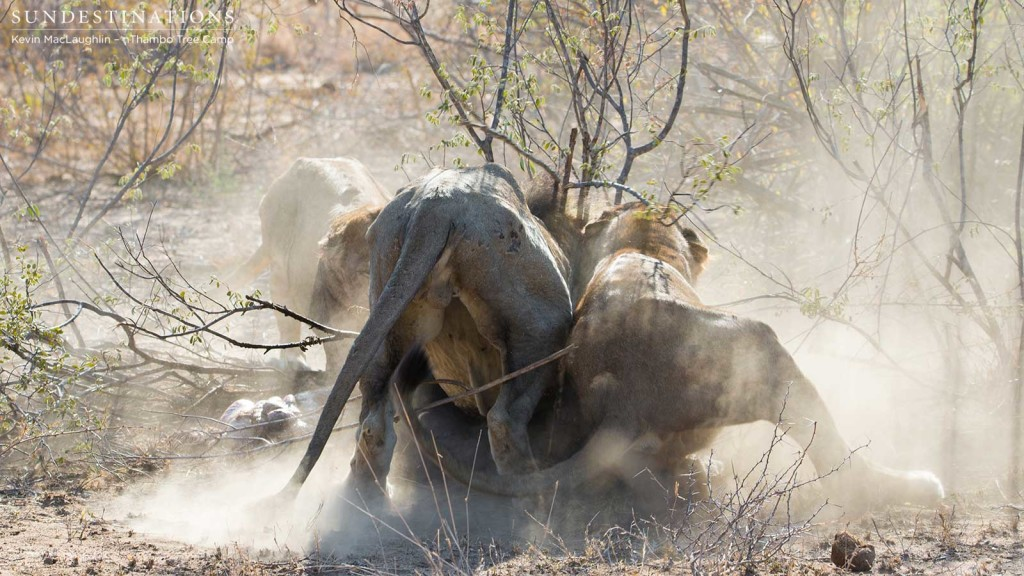 Father and son fight over a meagre meal of warthog