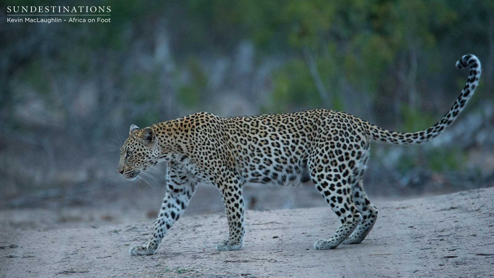 how to how to train a leopard
