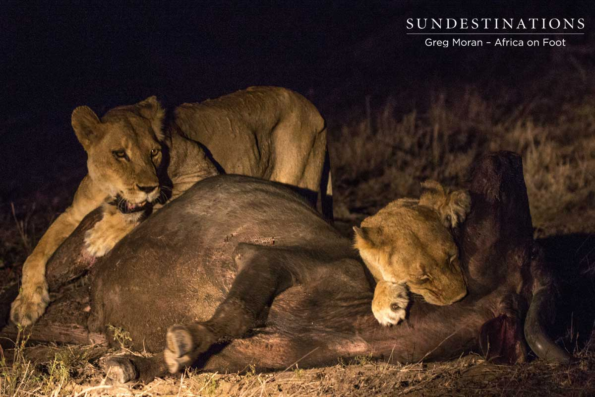Ross Pride Breakaway Lionesses FINALLY Find a Meal