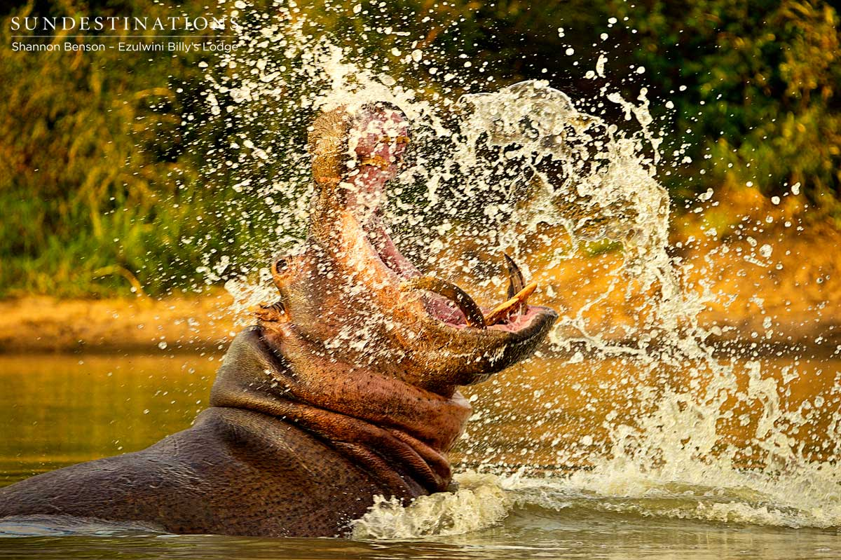 Hippo on Move