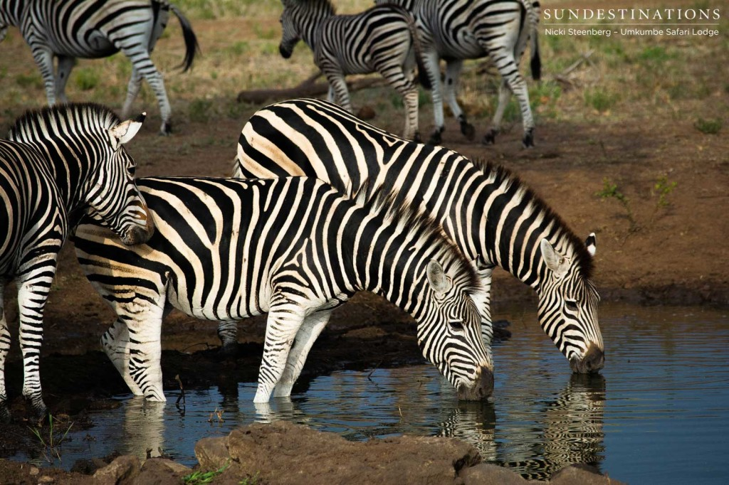 Striking zebra drink in unison at Umkumbe Safari LodgeStriking zebra drink in unison at Umkumbe Safari Lodge