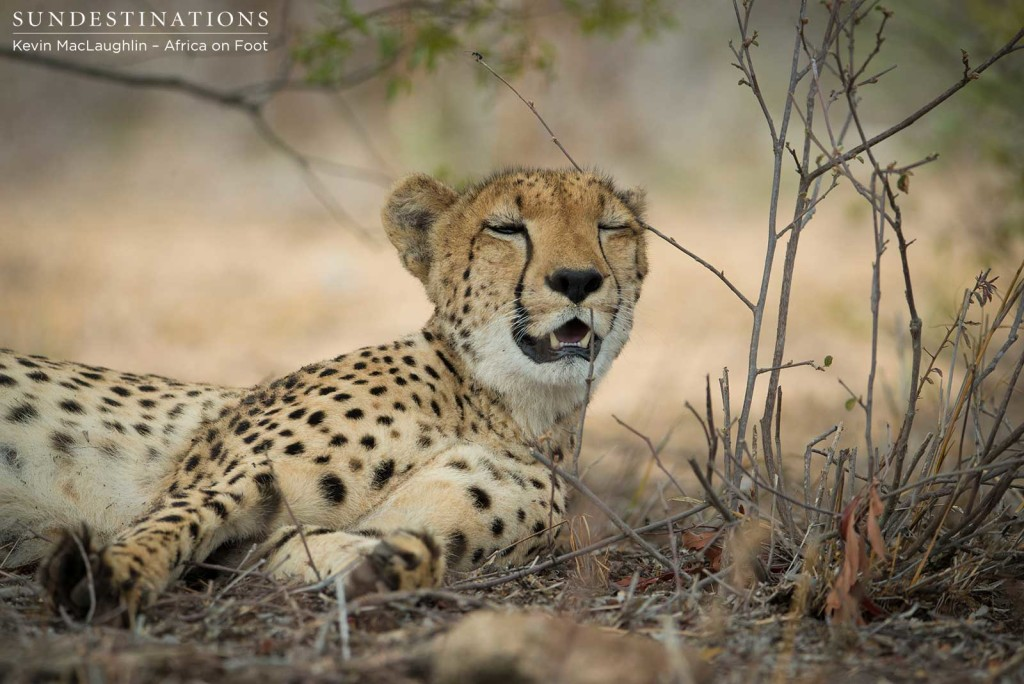A winking cheetah. Spot the ant walking the plank above her head...